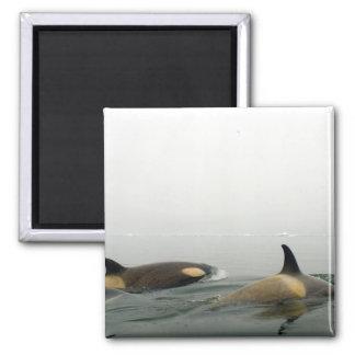 killer whales (orcas), Orcinus orca, pod 2 Fridge Magnets