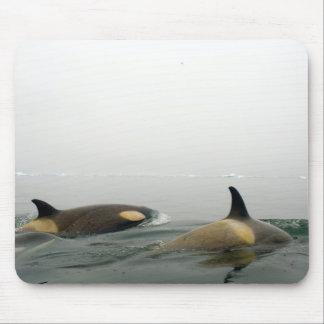 killer whales (orcas), Orcinus orca, pod 2 Mouse Mat