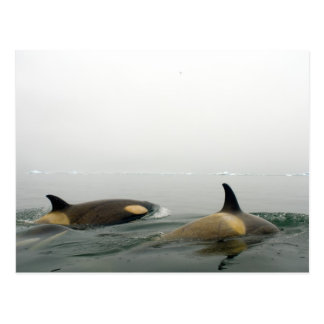 killer whales (orcas), Orcinus orca, pod 2 Postcard