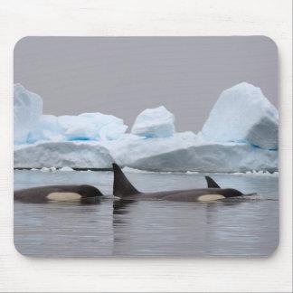 killer whales (orcas), Orcinus orca, pod Mouse Mat