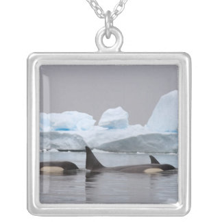 killer whales (orcas), Orcinus orca, pod Silver Plated Necklace