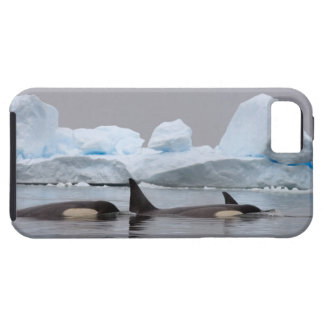 killer whales (orcas), Orcinus orca, pod Tough iPhone 5 Case