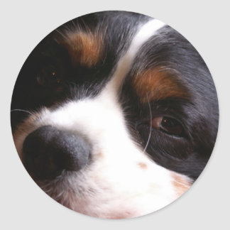King Charles Cavalier Spaniel Sticker