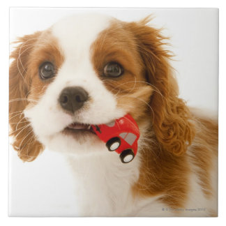 King Charles Spaniel with red car in her mouth. Large Square Tile