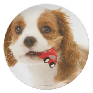 King Charles Spaniel with red car in her mouth. Plate