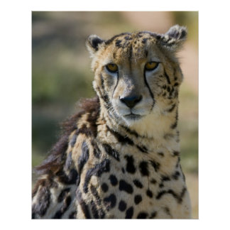 King Cheetah Posters