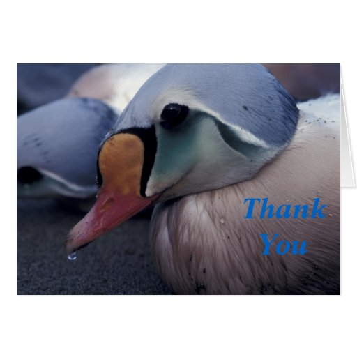 king eider male thank you card