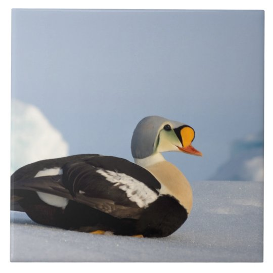 king eider, Somateria spectabilis, on jumbled Large Square Tile
