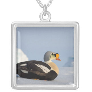 king eider, Somateria spectabilis, on jumbled Silver Plated Necklace