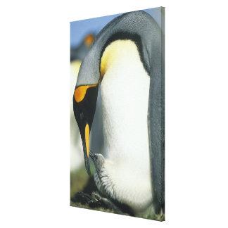 King Penguin, (Aptenodytes patagonicus), Canvas Print
