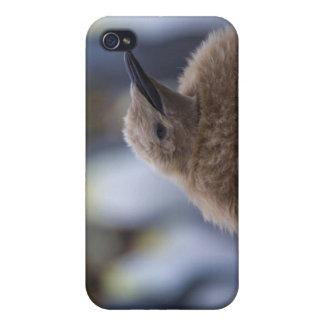 King Penguin (Aptenodytes patagonicus) chick, iPhone 4 Case