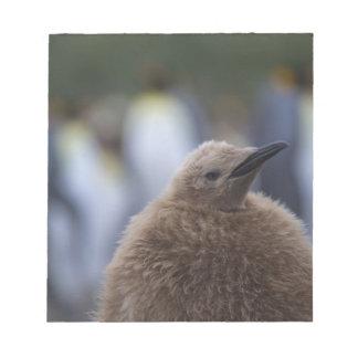 King Penguin (Aptenodytes patagonicus) chick, Notepad