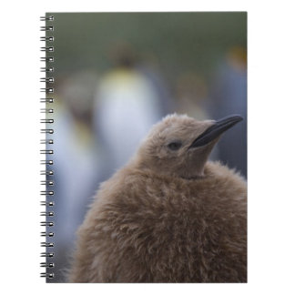 King Penguin (Aptenodytes patagonicus) chick, Spiral Notebook