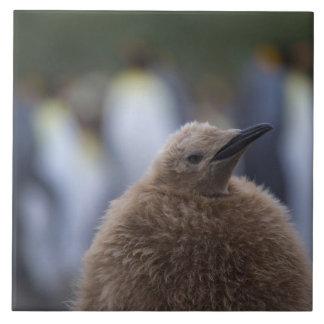 King Penguin (Aptenodytes patagonicus) chick, Tile