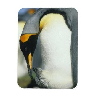 King Penguin, (Aptenodytes patagonicus), Rectangular Photo Magnet