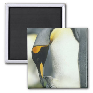 King Penguin, (Aptenodytes patagonicus), Square Magnet