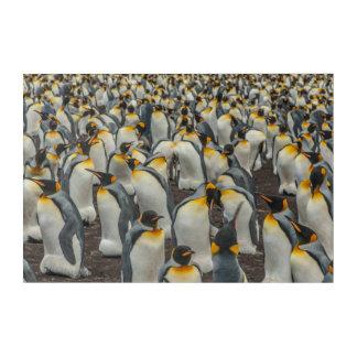 King penguin colony, Falklands Acrylic Wall Art