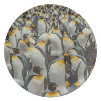 King penguin colony, Falklands Plates