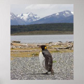 King Penguin, Isla Martillo, Tierra Del Fuego Poster
