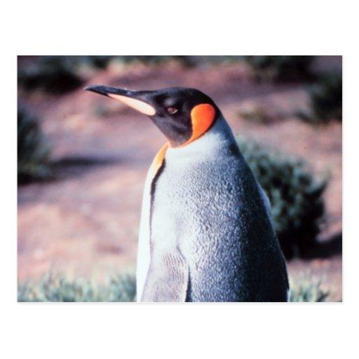 King Penguin on Heard Island Post Card