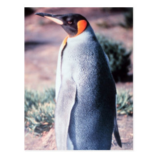 King Penguin on Heard Island Postcard