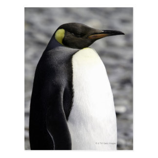 King Penguin, Salisbury Plain, South Georgia Postcard