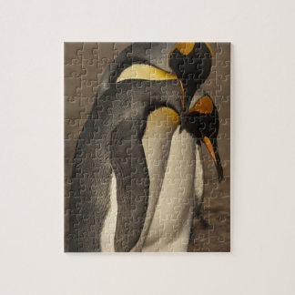 King Penguins (Aptenodytes p. patagonica) Jigsaw Puzzle