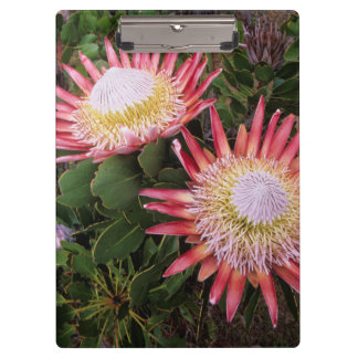 King Protea (Protea Cynaroides), Helderberg Clipboard