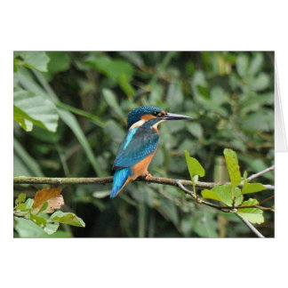 Kingfisher blank greeting card