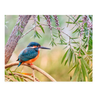 Kingfisher Perched on Branch Postcard