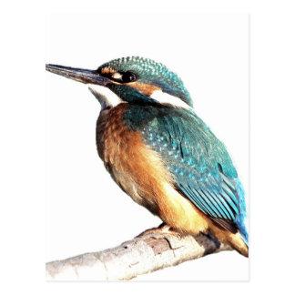 """Kingfisher"" Postcard"