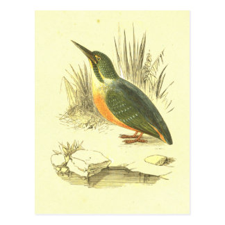 Kingfisher Vintage Bird Lithograph Post Card