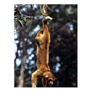 Kinkajou (Potos flavus) Postcard