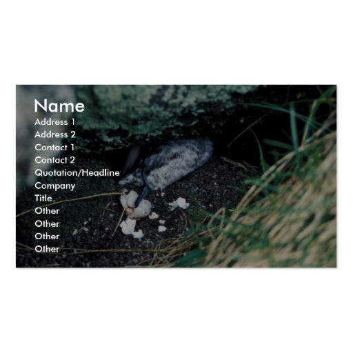 Kiska Island Sirius Point, Auklet killed by rat Business Card Templates