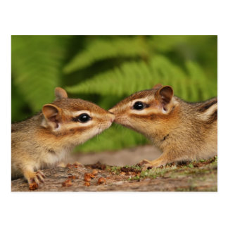 Kissing Baby Chipmunks Postcard
