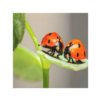 Kissing Ladybugs Canvas Print