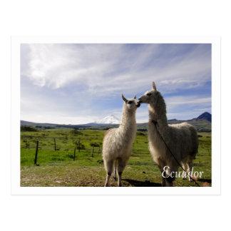 Kissing llamas Cotopaxi Ecuador Postcard