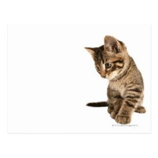 Kitten 2 postcard