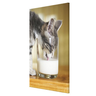 Kitten drinking milk from glass stretched canvas prints