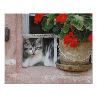 Kitten Looking Out Window Poster