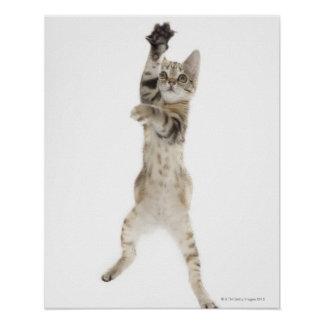 Kitten standing on back paws poster