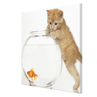 Kitten trying to get at a goldfish canvas print