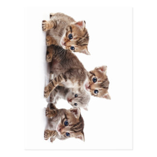 Kittens and more Kittens Postcard