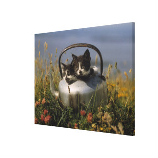 Kittens in an old kettle canvas print