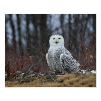 KMCphoto SNOWY OWL Poster