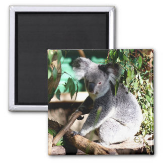 Koala amongst the Gumleaves Square Magnet