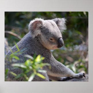 Koala at Perth Zoo Australia Poster