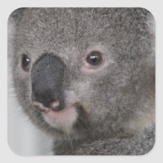 Koala Baby Square Sticker