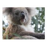 Koala Bear Facts Postcard