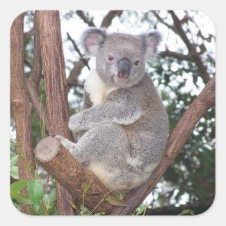 Koala Bear in a Tree Square Sticker